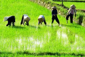 Bài dự thi Nhớ thương mùi Tết: Nhớ hương lúa nếp