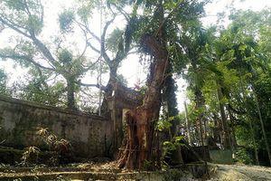 Chủ tịch xã nói gì việc chặt hạ cây sưa trăm tỷ ở thôn Phụ Chính?