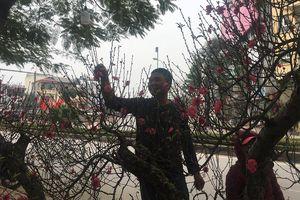 Hà Nội: Đường Lạc Long Quân mỗi độ đón Xuân về