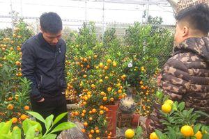 Làng quất cảnh Tứ Liên: Nhiều vườn đã bán tới 80%