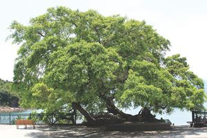 Chân dung 7 loài cây 'sống thọ' nhất