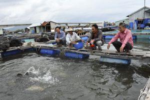 Ngư dân nuôi cá lồng bè bội thu vụ Tết