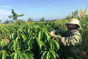 Từng bước hiện thực hóa những kỳ vọng từ chương trình tái canh cây cà phê