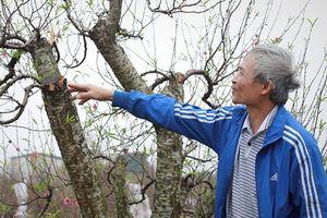 Công an tỉnh Bắc Ninh chỉ đạo điều tra vụ chặt phá đào trước Tết