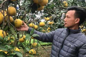 Đặc sản Tết: Dân Thủ đô trúng lớn nhờ 'đệ nhất bưởi'