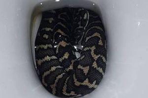 Bị rắn trong bồn cầu cắn khi đi vệ sinh