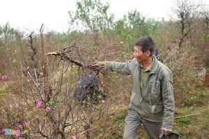 Vụ vườn đào bị chặt phá trước Tết: Công an vào cuộc điều tra