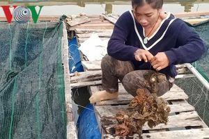 Nông dân Bà Rịa-Vũng Tàu lãi lớn từ nuôi hàu Thái Bình Dương