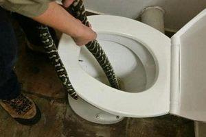 Kinh hãi thấy trăn nằm trong bồn cầu nhà vệ sinh