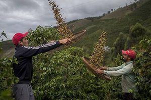 Cà phê đang đứng trước nguy cơ...tuyệt chủng?