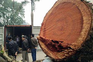 Cận cảnh chặt hạ cây sưa 100 tỷ ở Hà Nội