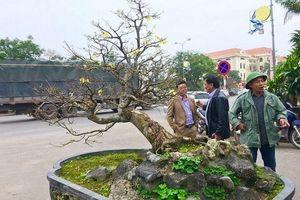 'Chấn động' thị trường cây cảnh chơi Tết với cây Hoàng Mai tiến vua giá 5 tỉ đồng