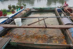 9X nuôi cá Koi kiếm tiền tỉ