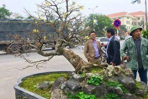 Choáng với cây Mai tiến vua gần trăm tuổi giá 5 tỉ gây xôn xao ở Quảng Bình