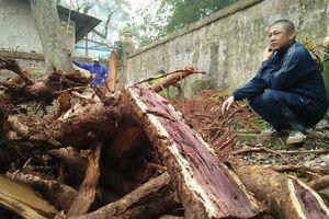 Vụ chặt cây sưa trăm tỷ ở Hà Nội: Khúc rễ tách đôi dân làng mất ngay chục tấn thóc