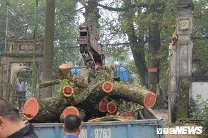 Gỗ cây sưa trăm tuổi vừa chặt hạ ở Chương Mỹ được bảo vệ thế nào?