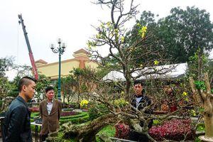 Cận cảnh 'cụ' hoàng mai 5 tỉ đồng tại chợ hoa Quảng Bình