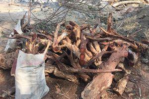 Tránh bị máy múc làm nứt toác gốc cây sưa trăm tỷ ở Hà Nội, dân làng canh tại trận yêu cầu thợ đào tỉ mỉ