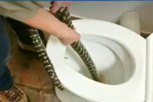 Rùng mình cảnh trăn tấn công người trong nhà vệ sinh