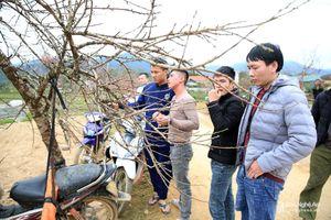 Nghệ An: Đào đá khan hiếm, giá tăng kỷ lục từ trước tới nay