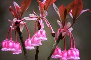 Du khách du xuân mê mẩn với hoa đào chuông nở rộ trên đỉnh Bà Nà