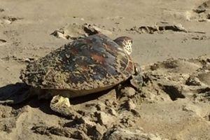 Thả một cá thể rùa xanh quý hiếm xuống biển Cửa Đại