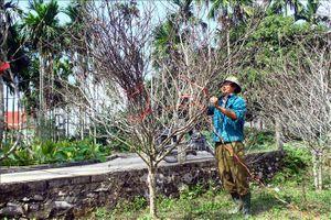 Nhiều nhà vườn phấn khởi được mùa đào Tết