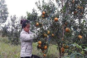 Hà Tĩnh: Bỏ việc ở phố, hotgirl về quê nuôi gà, trồng cam đặc sản