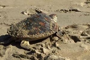 Thả cá thể rùa xanh quý hiếm về biển ở Quảng Nam