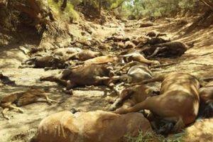 Australia nóng chưa từng có tiền lệ, cả người lẫn động vật đều khốn đốn