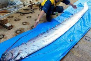 Cá mái chèo xuất hiện, dân Nhật lo có động đất, sóng thần lớn