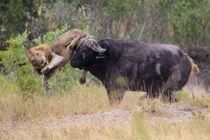 CLIP: Sư tử bỏ mạng vì tấn công trâu rừng