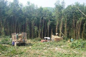 Những bữa cơm trưa giữa lưng ngàn của những người khai thác gỗ keo
