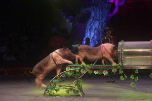 Du xuân cùng lợn vàng trên sân khấu xiếc