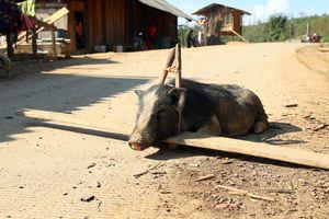 Lợn trong đời sống người Mông Nghệ An