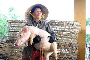 Nhọc nhằn nghề bồng heo 'đón vía' ở xứ Quảng
