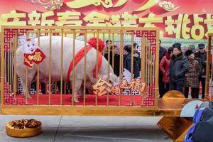 TQ: Vua lợn nặng gần 1 tấn được tôn thờ dịp năm mới Kỷ Hợi 2019
