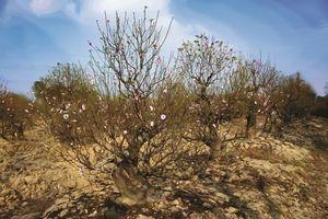 Làng hoa Đồng Dụ, Hải Phòng: Cho mùa xuân thêm hương sắc