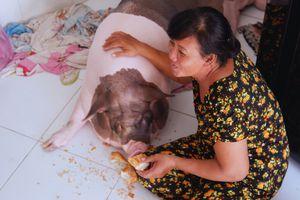 'Nàng heo' đặc biệt được bà chủ ở Sài Gòn cưng chiều hết mực