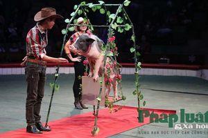 Tết Kỷ Hợi kể chuyện những 'nghệ sỹ' lợn làm xiếc trên sân khấu