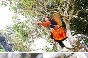 Độc đáo những cây chè khổng lồ 500 năm tuổi giữa biển mây Tà Xùa