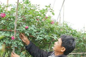 Chùm ảnh: Ngắm làng hoa hồng trăm tỷ khoe sắc sau Tết