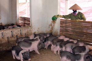 Lưu giữ, phát triển giống lợn Ỉ bản địa ở Móng Cái