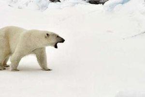 Quần đảo Nga công bố tình trạng khẩn cấp vì gấu Bắc Cực 'tấn công'