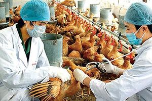 Cúm H5N1 trên người có nguy cơ tái xuất