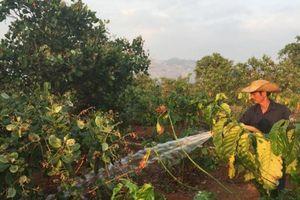 Gia Lai: Cà phê khô hạn, nông dân phải tưới 'xuyên' Tết
