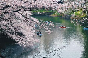 #Mytour: Lịch trình 10 ngày săn hoa anh đào tự túc dọc ngang Nhật Bản