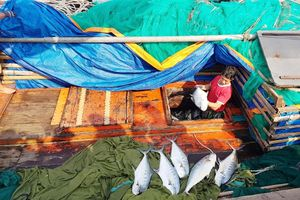 Một ngư dân Quảng Trị trúng mẻ cá bè vàng hơn 100 tấn