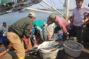 Ngư dân Quảng Trị trúng mẻ cá 7 tỷ đồng