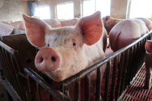 Điềm báo Kỷ Hợi: Hàng triệu con lợn bị tiêu hủy